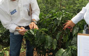 Visita de verificación y muestreo de semilla de café (Coffea arabica L.), para su análisis y calificación.