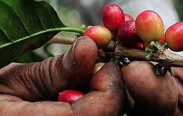 México vs. la roya del café