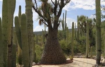Es una planta endémica del Valle de Tehuacán Cuicatlán. Y se distribuye en los estados de Puebla y Oaxaca.