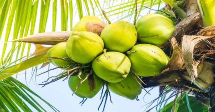 El cultivo del coco se encuentra en tercer lugar en volumen y quinto lugar en valor de producción a nivel nacional.