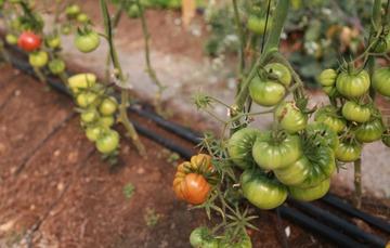 Cultivo de tomate verde