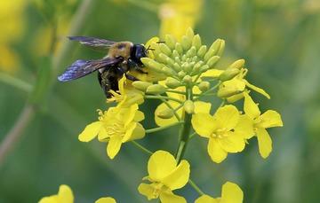 planta de canola y abeja.