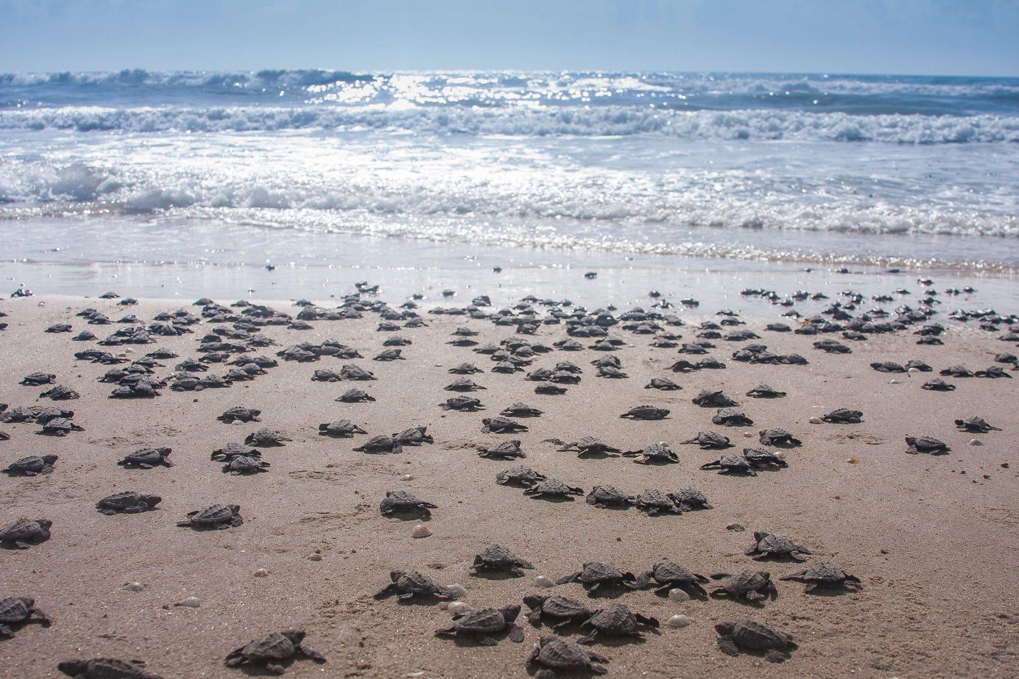 tortugas liberadas en el Verde Camacho