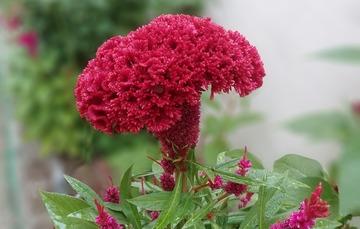 Flor de terciopelo color rojo.