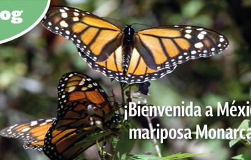 ¡Bienvenida a México mariposa Monarca!