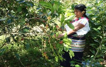 Mujer cosechando café