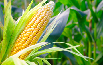 ¿Sabías que el chahuistle es una enfermedad que afecta los cultivos de maíz?