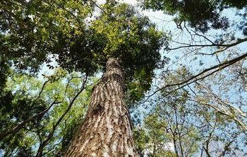 """Toma en contrapicada de un árbol dentro del el Centro de Investigación y Transferencia de Tecnología Forestal """"El Tormento""""."""