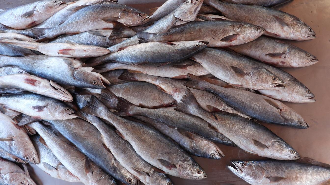 Al precisar que este Certificado contribuye a generar seguridad a los exportadores, el comisionado nacional de Acuacultura y Pesca, Raúl Elenes, señaló que por instrucción del titular de la SADER, Víctor Villalobos, se dará seguimiento puntual al tema.