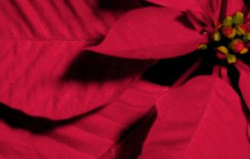 Banner de flor de nochebuena (Cuetlaxóchitl)