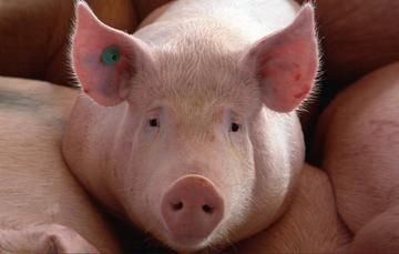 El SENASICA reforzó las labores de inspección de mercancías cárnicas, principalmente de cerdo provenientes de los países afectados por la enfermedad.
