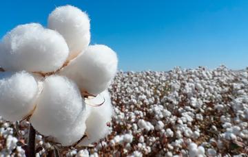 El gusano rosado es una de las principales plagas del cultivo del algodonero en México.