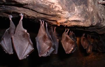 Para la agricultura, las grandes colonias de murciélagos representan un alivio ya que salvan las cosechas de depredadores como la langosta y otros insectos.