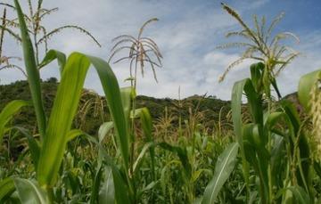 Muchas de esas plantas domesticadas tienen presencia actual como el maíz.