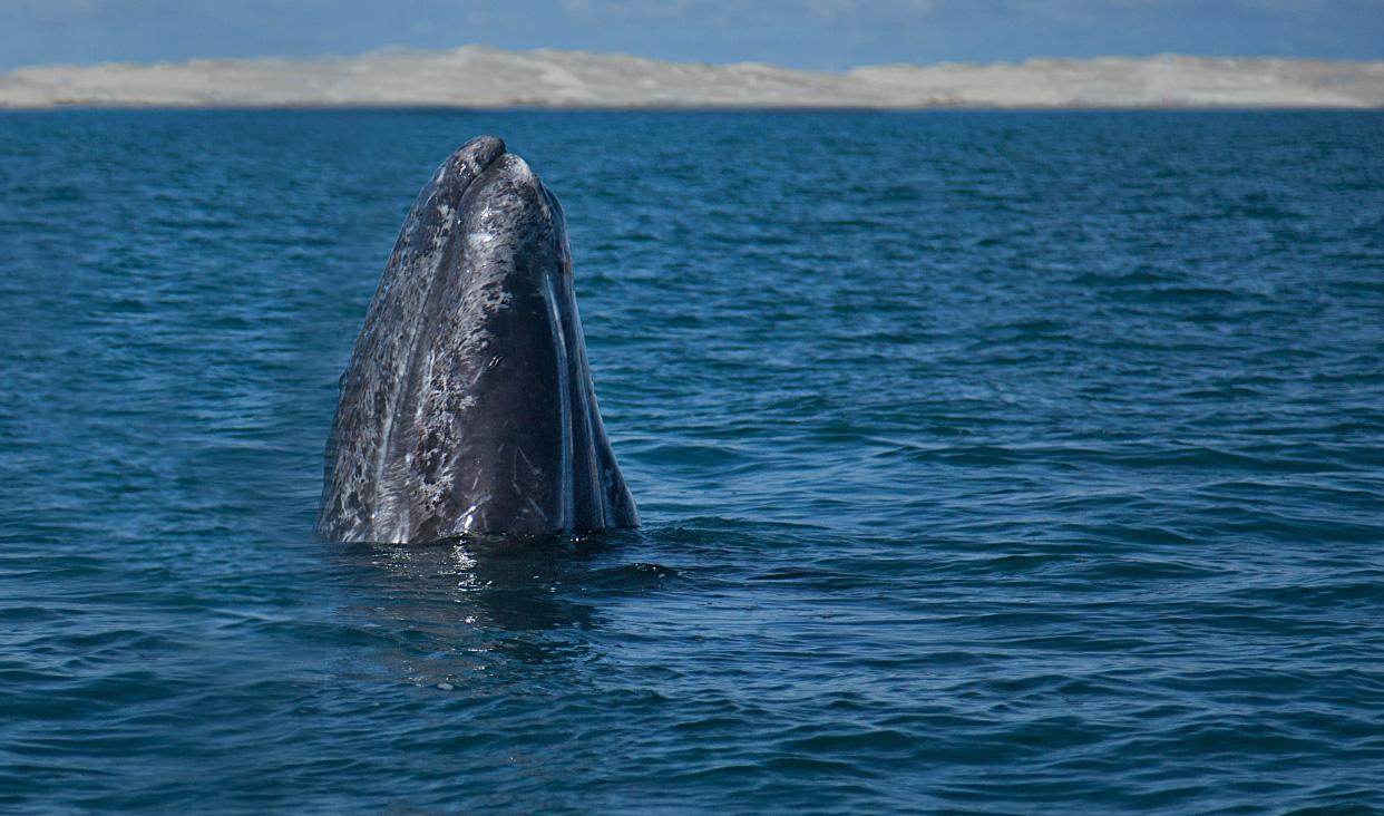 Desde la década de los treinta, la ballena gris se encuentra protegida internacionalmente a través de la Comisión Ballenera Internacional de la que México forma parte.