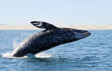 Reserva de la Biósfera Complejo Lagunar Ojo de Liebre la temporada de avistamiento de ballenas ofrece al turismo opciones recreativas sujetas al cumplimiento de reglas