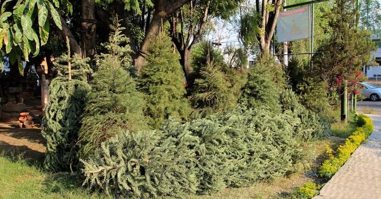 Al final de las fiestas decembrinas los arbolitos naturales pueden seguir siendo de gran utilidad. Al final de la temporada existen varias convocatorias a lo largo y ancho del país para que lleves tu árbol a un centro de acopio.
