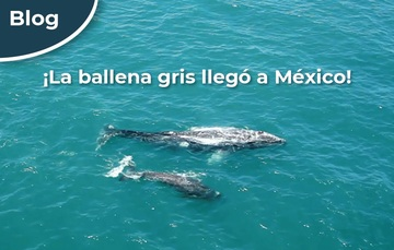 ¡La ballena gris llegó a México!