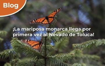 ¡La mariposa monarca llega por primera vez al Nevado de Toluca!