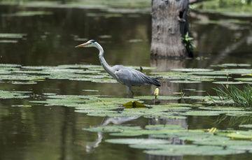 Imagen de un ave silvestre en un humedal.