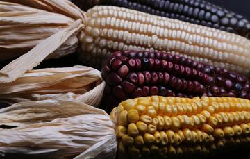 Un mayor impulso a productores de Maíz y Cebada