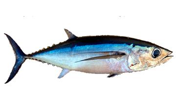 Conoces el pez bonito? | Servicio de Información Agroalimentaria y ...