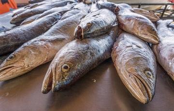 Para la temporada 2019 se permitirá la captura de cuatro mil 116 toneladas de peso entero, equivalentes a tres mil 430 toneladas de peso eviscerado y 72 toneladas de vejiga natatoria.