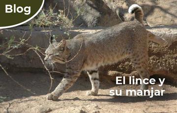 Lince (Lynx rufus)