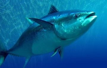 El objetivo es que las capturas registren tres mil 268 toneladas para la temporada 2020.