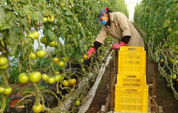 Mujer cosechando tomate