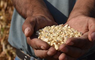 Productor de maíz con semillas en sus manos