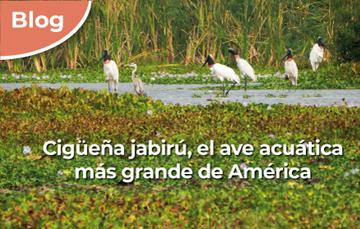 Cigüeña jabirú en la RB Pantanos de Centla