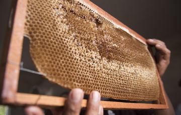 La producción de miel en el ejido es una de las actividades productivas en las que están invirtiendo mucho esfuerzo con el objeto de consolidarla como una empresa propia e independiente en un futuro.