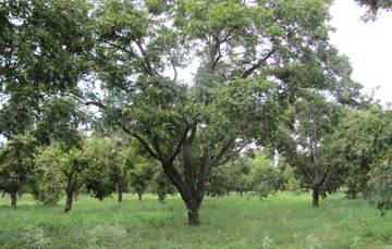 La variedad puede establecerse en el norte del país, particularmente en los estados de Sonora, Chihuahua y Coahuila.