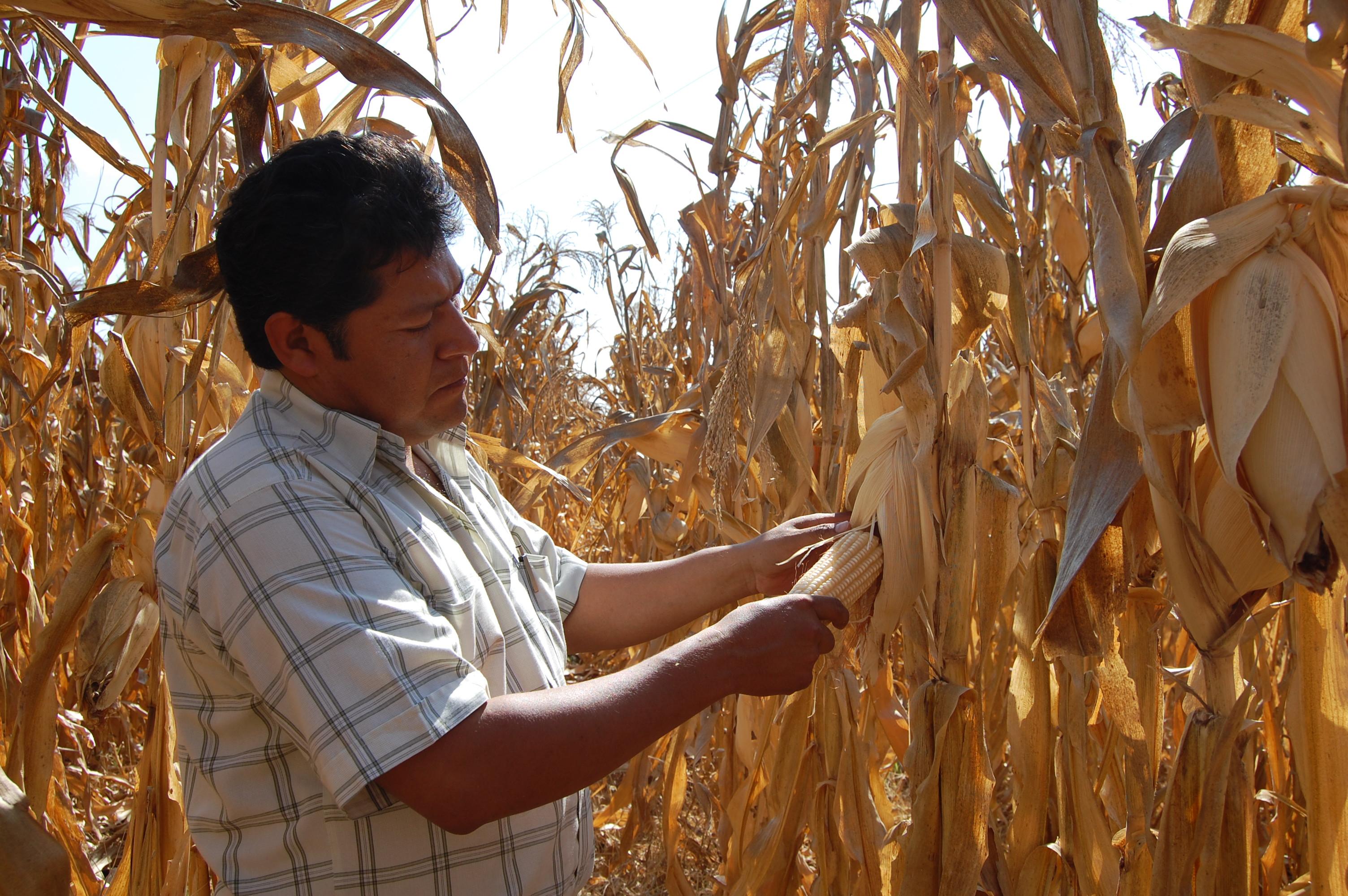 Productor de maíz en la milpa