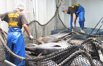 Representantes de pesca de  21 países  analizarán  los  mecanismos más efectivos de conservación y uso sostenible de los recursos marinos en la pesquería de túnidos y especies capturadas por buques atuneros.