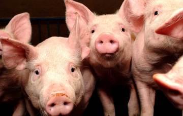 La PPA es una enfermedad infecciosa del cerdo, es causada por un asfivirus altamente contagioso para esos animales