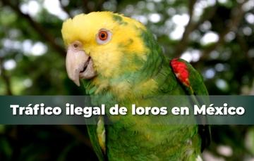 Tráfico ilegal de loros en México