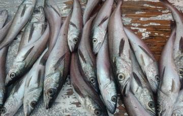 El pasado mes de junio, el Gobierno de México aprobó como pesquería nueva la captura de merluza del Pacífico norte.