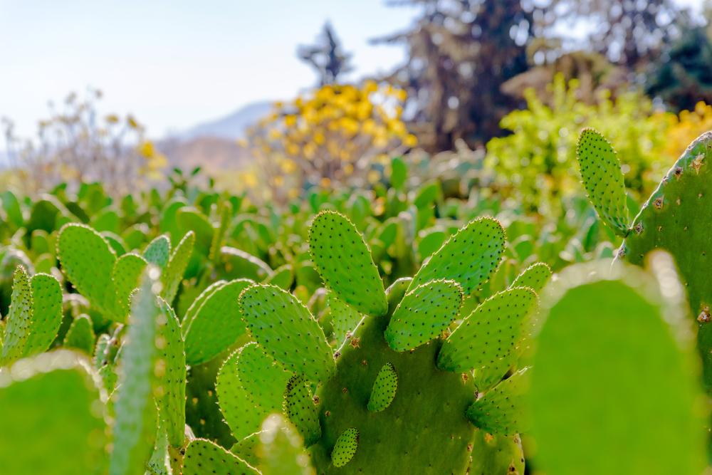 El tamaño que más se comercializa de la hortaliza es de entre 15 a 20 centímetros de largo, y con un peso promedio de 100 gramos por pieza.