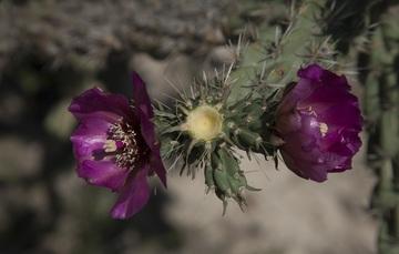 Las cactáceas se consideran de las plantas más bellas  por la peculiar forma de sus tallos, el color y forma de sus flores y las espinas.