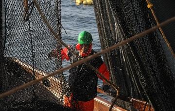 Con base en la información científico-técnica se estableció en 140 milímetros de longitud patrón como talla mínima de captura de sardina crinuda para el sur del Golfo de California.