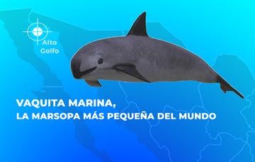 Vaquita marina, la marsopa más pequeña del mundo