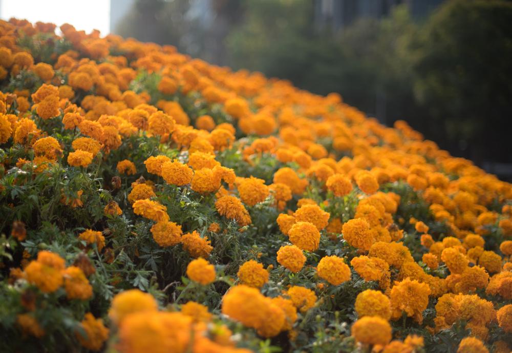 La flor de Cempasúchil simboliza el Día de Muertos en México, gracias a su color y aroma es uno de los elementos más representativos de las ofrendas para los muertos.