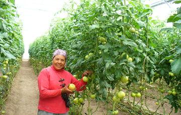 Productora de tomate
