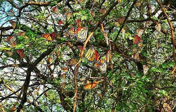 El trayecto de la Monarca perpetúa a esta especie que año con año revive uno de los espectáculos más asombrosos de la naturaleza.