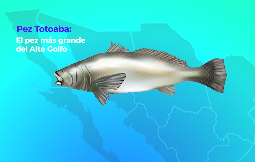 Pez Totoaba: El pez más grande del Alto Golfo