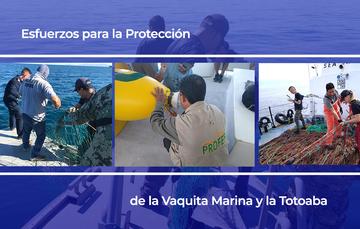 Esfuerzos para la Protección de la Vaquita Marina y la Totoaba
