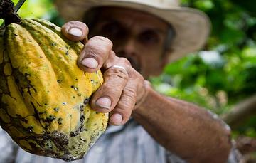 Tabasco y Chiapas son los mayores productores de cacao de México, que se ubica en el décimo primer sitio de los países cacaoteros del mundo.