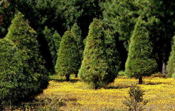 En este tipo de plantaciones, los poseedores de las parcelas realizan un aprovechamiento continuo del recurso forestal.